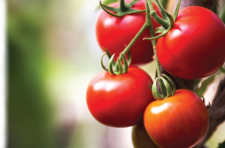 Christie glasshouses garden sheds - tomatoes